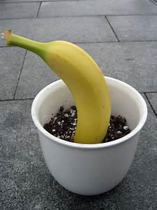 Pfeffer Pflanze Selber Züchten : banane z chten wie sehen die samen aus samen anzucht vermehrung green24 hilfe pflege ~ Markanthonyermac.com Haus und Dekorationen