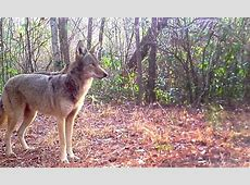 Red wolf proposed changes by US Fish and Wildlife Service