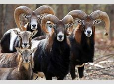 National Animal Of Cyprus Cypriot Mouflon 123Countriescom