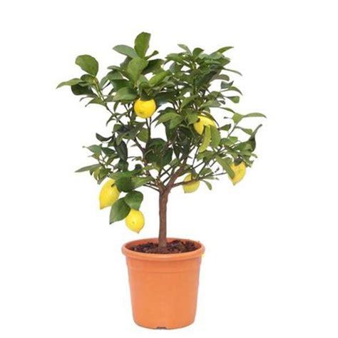comment faire pousser un citronnier 224 partir d un p 233 pin
