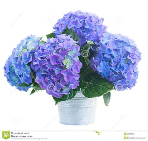 petit bouquet des fleurs bleues de hortensia photo stock image 39726356