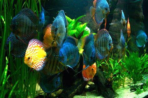 poissons amazoniens les discus