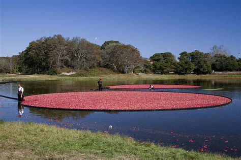 Cape Cod Cranberry Harvest  Flickr  Photo Sharing