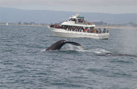 Monterey Whale Watching Boats by Blue Whales Again Over The Weekend Santa Cruz Whale Watching