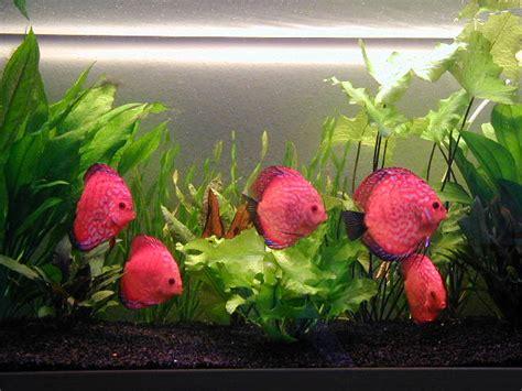 poissons d aquarium wikiwand