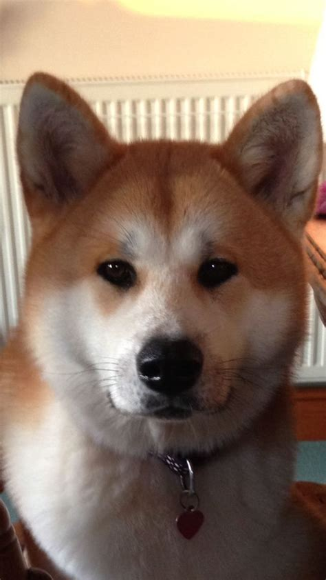 do akita dogs shed hair 17 best images about akitas on akita