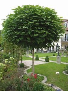 Dekorative Bäume Für Kleine Gärten : kugel trompetenbaum der sch nste baum f r den vorgarten home outdoor pinterest kugel ~ Markanthonyermac.com Haus und Dekorationen