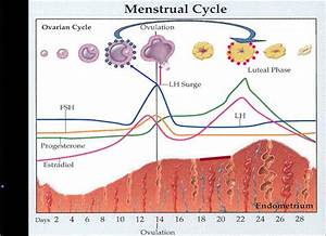 Menstrual Cycle Cramps | Menstrual Cycle | Pinterest ...