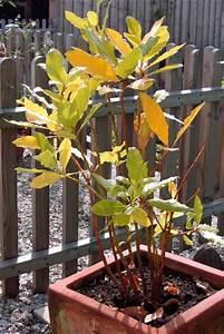 Lorbeer Gelbe Blätter : mein lorbeer essbare gew rzpflanze wird immer gelber haus garten forum ~ Markanthonyermac.com Haus und Dekorationen