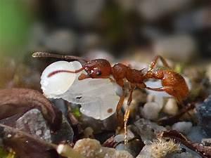 Mittel Gegen Rote Ameisen : wanzen und ameisen ~ Whattoseeinmadrid.com Haus und Dekorationen
