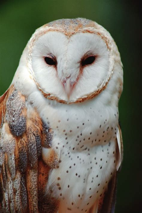 barn owl for barn owl photo picture image by tag
