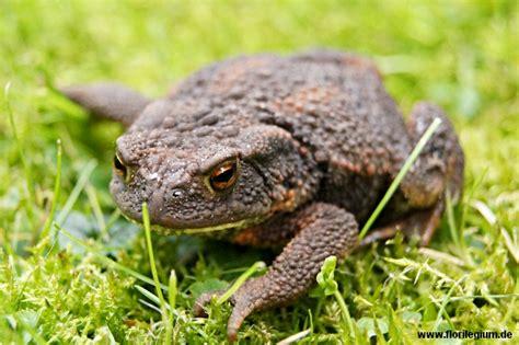Tiere Im Garten Die Erdkröte (bufo Bufo) Florilegium