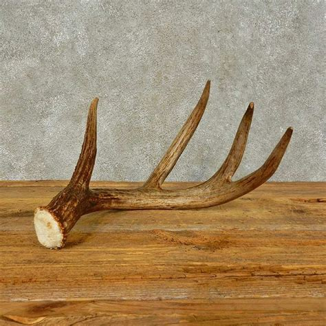 whitetail deer antler shed for sale 16436 the taxidermy store