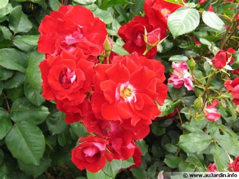 cultiver un rosier en pot