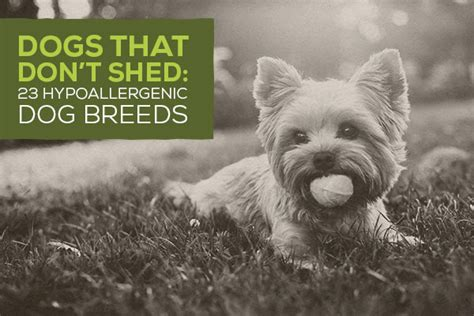 Dogs That Dont Shed Their Fur by Dogs That Don T Shed 23 Hypoallergenic Breeds