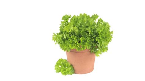 persil herbes bouger hd stock 991 975 480 framepool stock footage