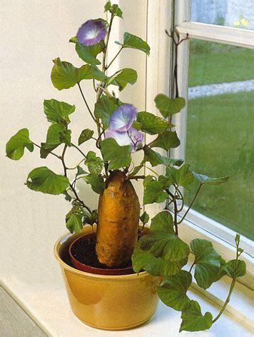 ipomaea volubilis patate douce culture soins et conseils