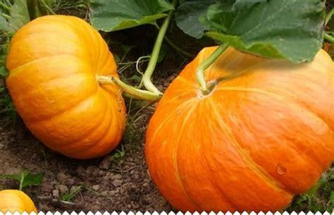 citrouille potiron semer planter entretenir et r 233 colter jaime jardiner