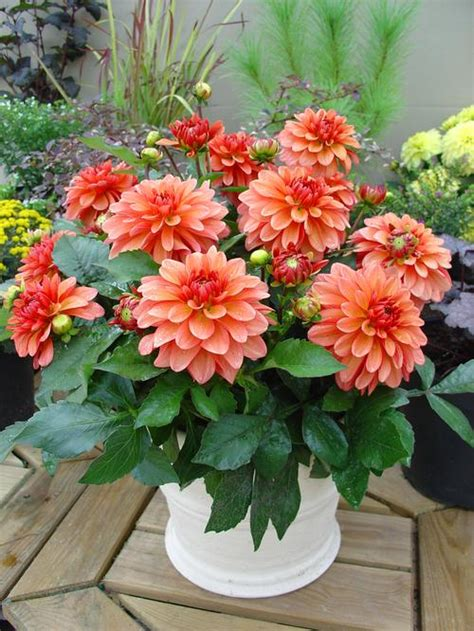 pot dahlia dahlia gallery matisse from growing colors