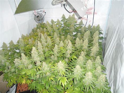 comment optimiser le rendement d un plant de cannabis sensi seeds