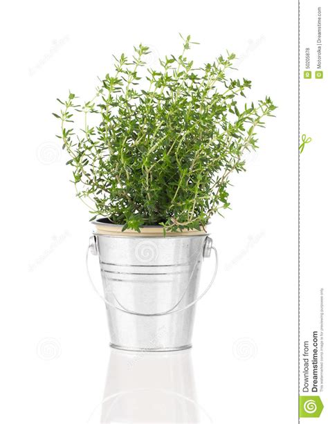 pianta dell erba timo che cresce in un vaso afflitto peltro fotografia stock immagine