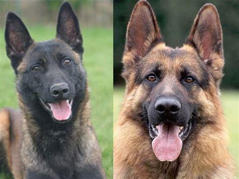 belgian malinois vs german shepherd shedding belgian malinois vs german shepherd which makes the
