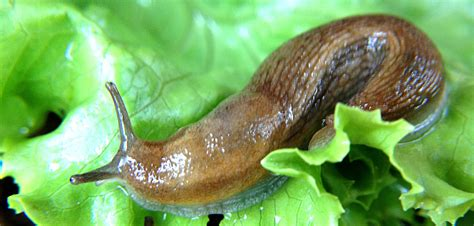 Pictures Of Slugs In The Garden 12 organic ways to keep your garden free of slugs