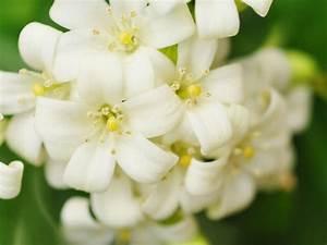 Jasmin Zimmerpflanze Pflege : jasmin richtig pflanzen und pflegen liebenswert ~ Markanthonyermac.com Haus und Dekorationen