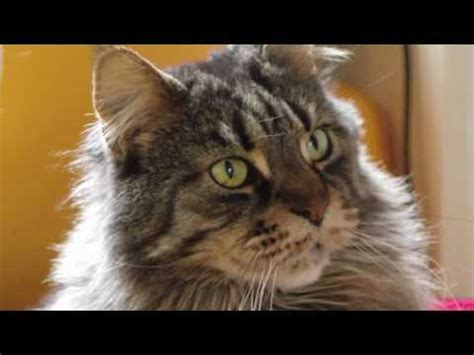 majestic maine coon reponses utiles