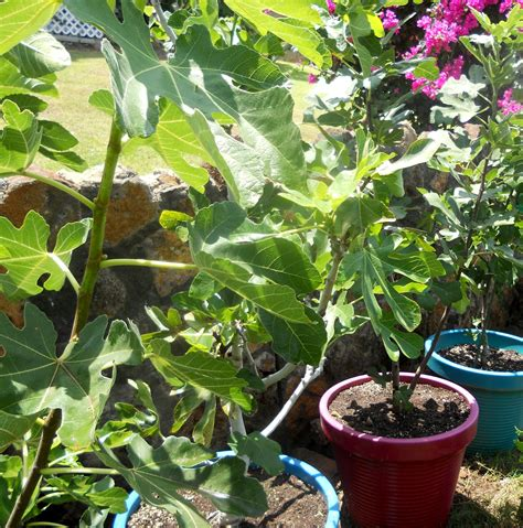 a kitchen garden in kihei growing potted fig trees in kihei