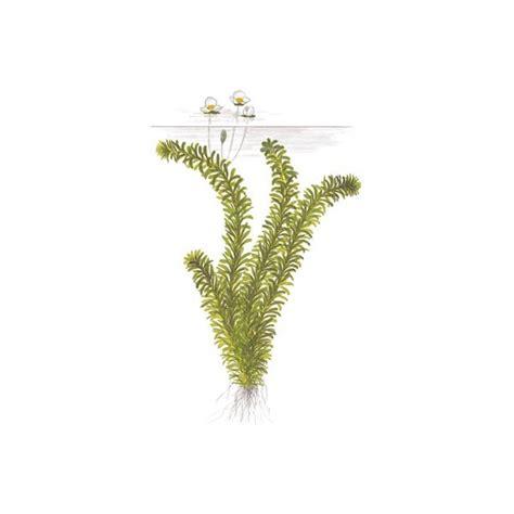 egerie densa elodea plante oxyg 233 nante en bouquet pour aquarium