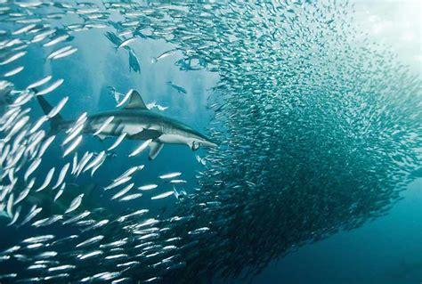 Ici En L'occurrence Le Requin Attaque Un Banc De Sardines