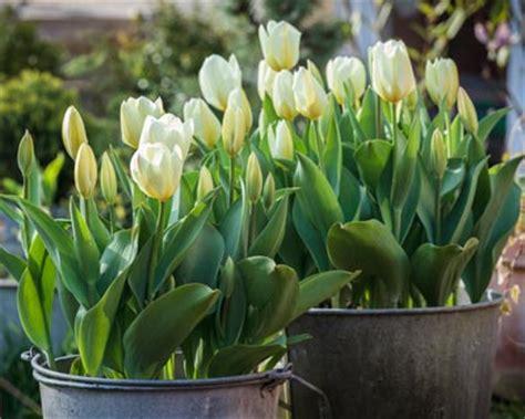 plantation des bulbes de printemps en pot