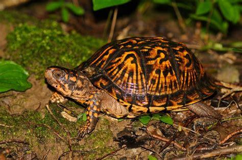ornate box turtle facts habitat diet adaptations