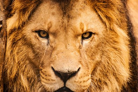 Trophy Hunting Of Lions Can Conserve The Species, Report