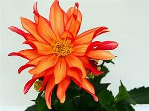 Pflegeleichte Zimmerpflanzen Mit Blüten : sch ne zimmerpflanzen erf llen die rolle von dekoration ~ Markanthonyermac.com Haus und Dekorationen