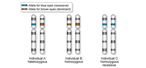 Recessive And Dominant Alleles