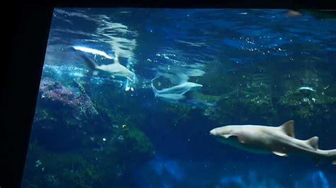 aquarium de lyon nourrissage des requins et autres poissons dans la fosse