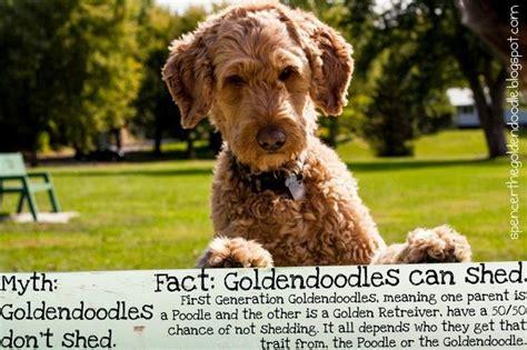 myth goldendoodles don t shed fact f1 goldendoodles can
