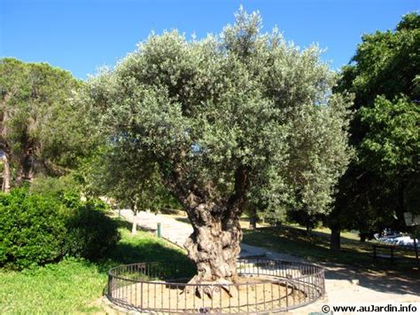 planter un olivier