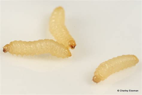 Larvae Raining From Pine Trees