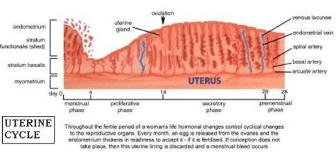 100 shedding uterine lining while a