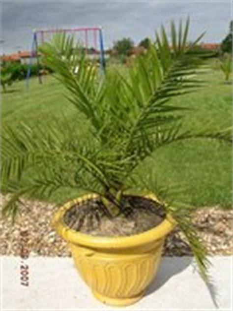 canariensis en pot mon jardin et palmiers sept2007 les galeries photo de plantes de