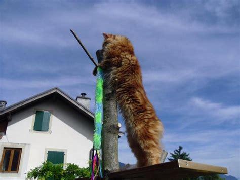 photo de pacha chat maine coon 113975 wamiz