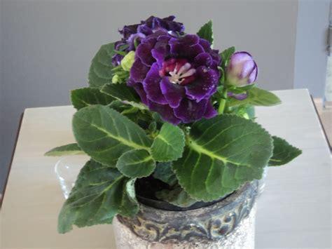 plante d int 233 rieur 224 fleurs mauves gloxinia flowerpower
