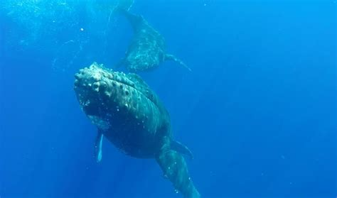 Zodiac Boat Maui by Whale Watching In Hawaii Maui Zodiac Tour