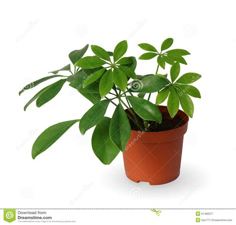 plante d int 233 rieur schefflera une usine mise en pot d isolement au dessus du blanc photo