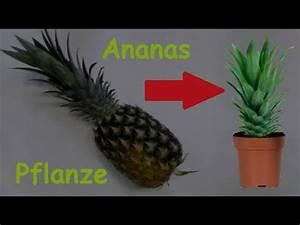 Pfeffer Pflanze Selber Züchten : ananas pflanze selber ziehen ananas vermehren pflanzen exotische frucht selber z chten ~ Markanthonyermac.com Haus und Dekorationen