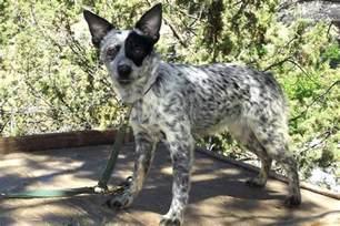 s mini australian cattle blue heeler puppy for sale near bend oregon