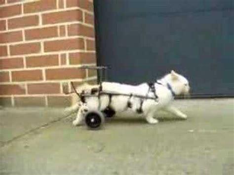 chaise roulante pour chat paralys 233